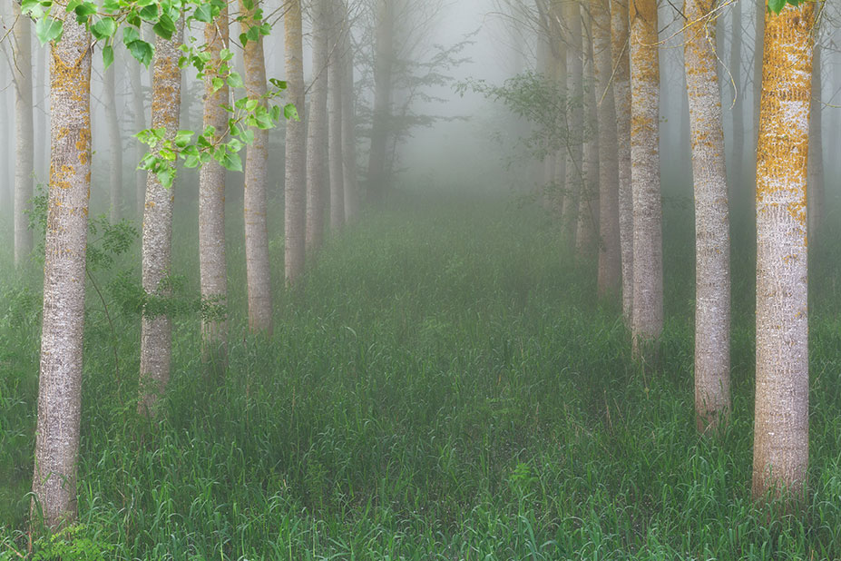 Poplar plantation in a foggy morning in Spain